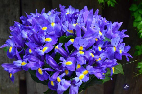 buchet de primavara cu irisi
